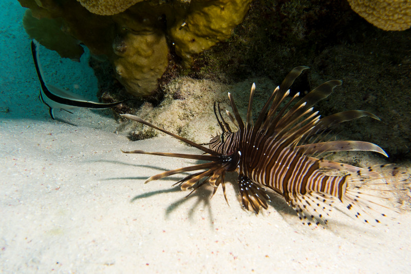 drum lionfish chase bon18.jpg