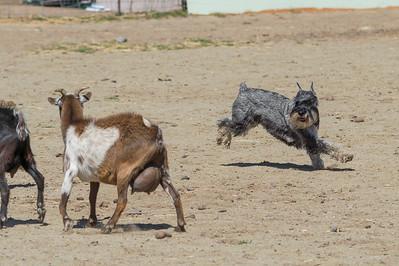 PT Goats