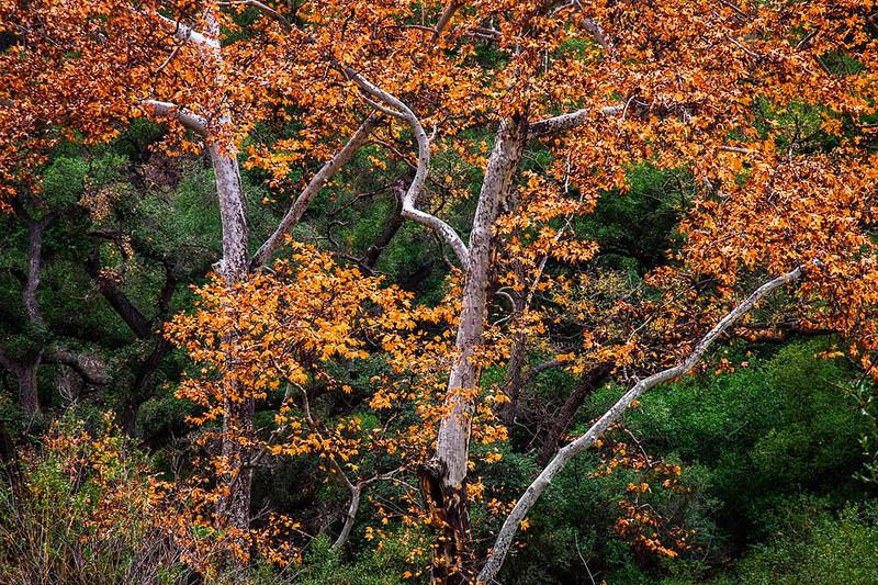 Santa Monica Mountains Sycamore Oak Trees Fall Color bsat.jpg