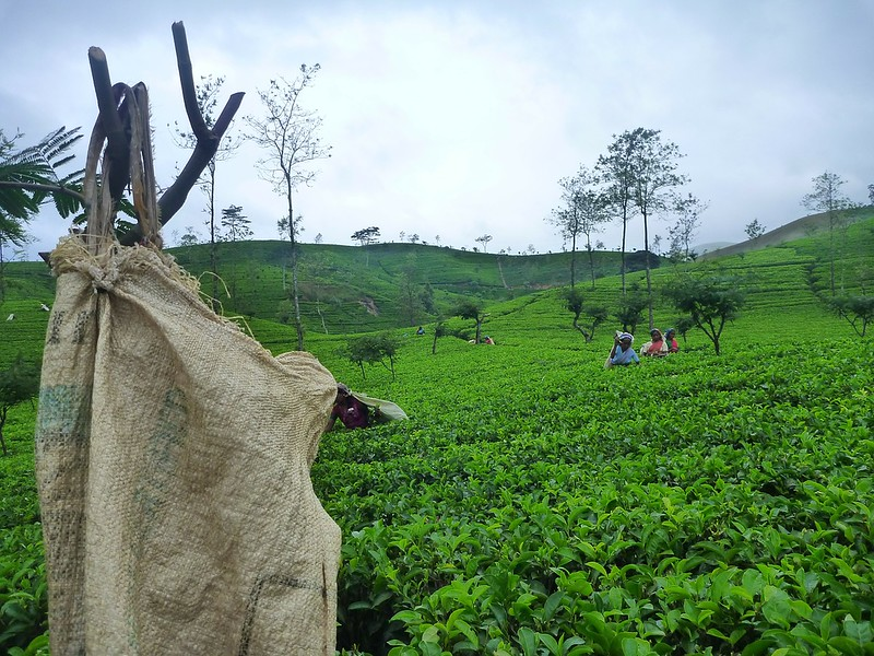 Tea Plantations- things to do in Ella, Sri Lanka