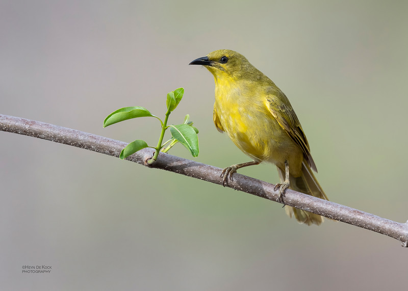 Yellow Honeyeater, Woodstock, QLD, Jan 2020-3.jpg