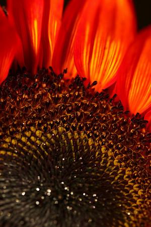 Sun Flowers 2008