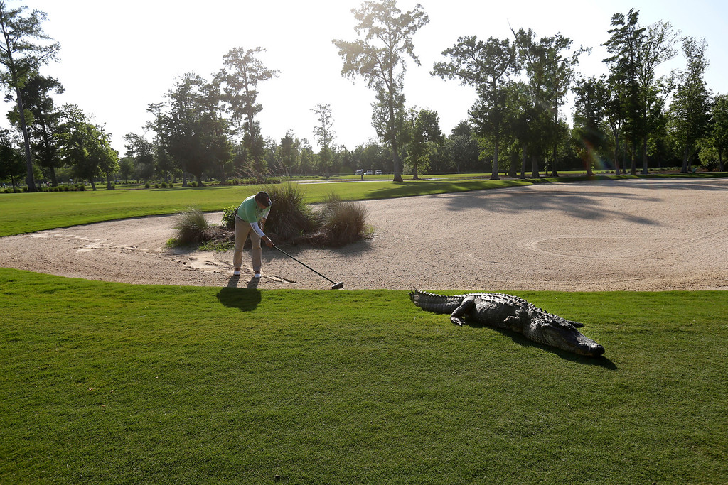. A worker grooms away tracks after an alligator crossed through a sand trap on the 14th hole during the first round of the PGA Tour Zurich Classic golf tournament at TPC Louisiana in Avondale, La., Thursday, April 25, 2013. (AP Photo/Gerald Herbert, File)