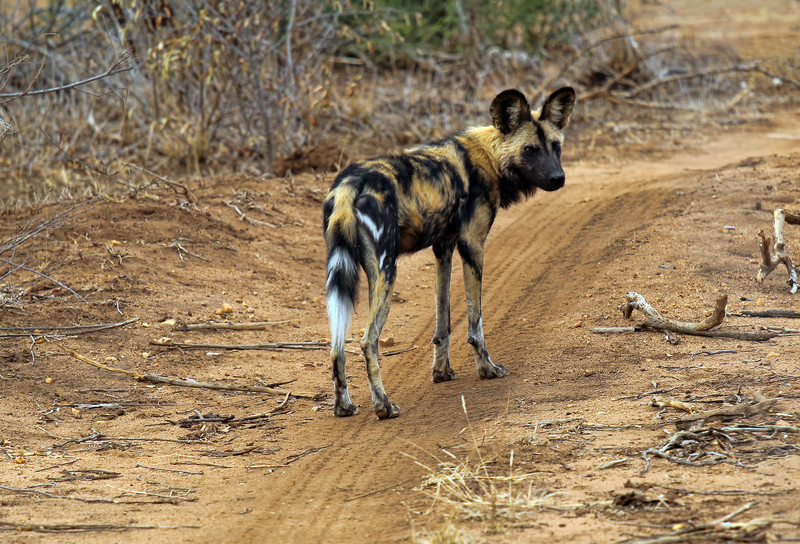 WILD DOG - SOUTH AFRICA
