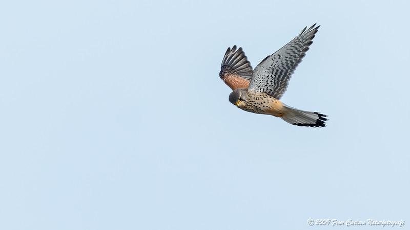 Tårnfalk (Falco tinnunculus - Common Kestrel)