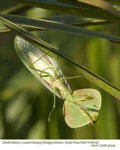 Shield Mantis A86497.jpg
