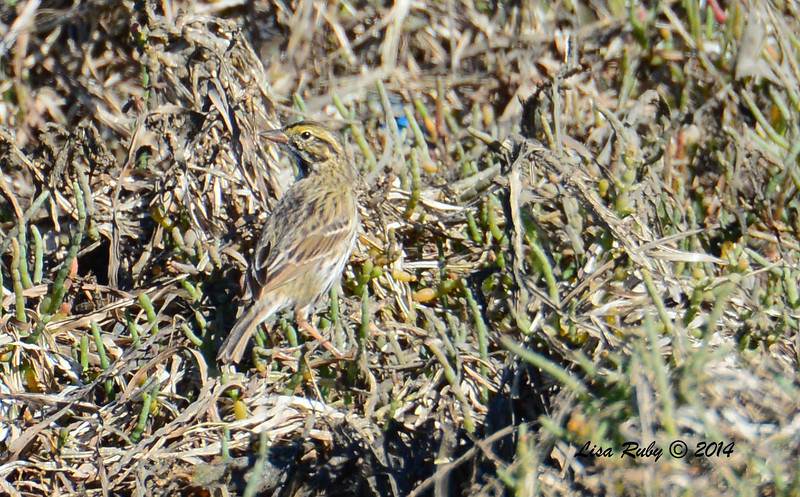 Savannah Sparrow - believe this is Large-billed - 10/8/2014 - Salt Works