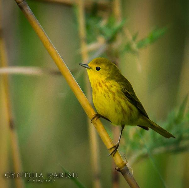 YellowWarbler1_LagowCPP.jpg