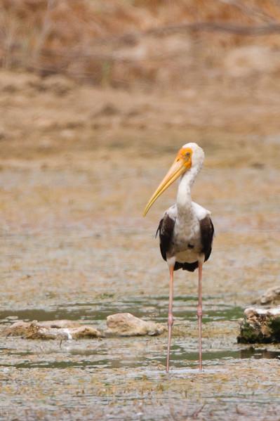 Painted Stork - Kutch, Gujrat, India