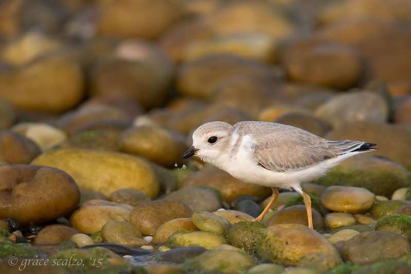 Piping Plover fledgling and bubbles