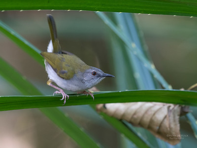 Green-backed Camaroptera (Camaroptera brachyura)