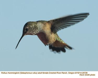 Rufous Hummingbird F20736.jpg