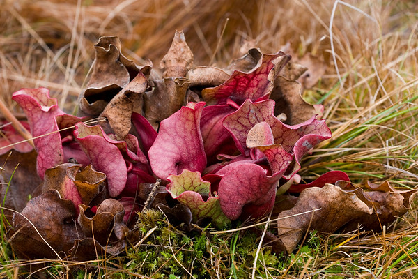 Non-native Carnivorous Plants at Albion Bog