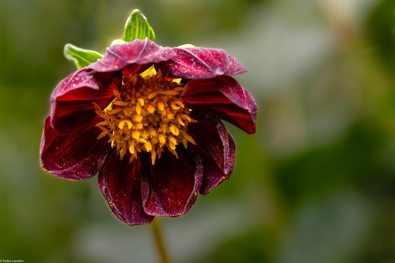 Dhalia  Pollen