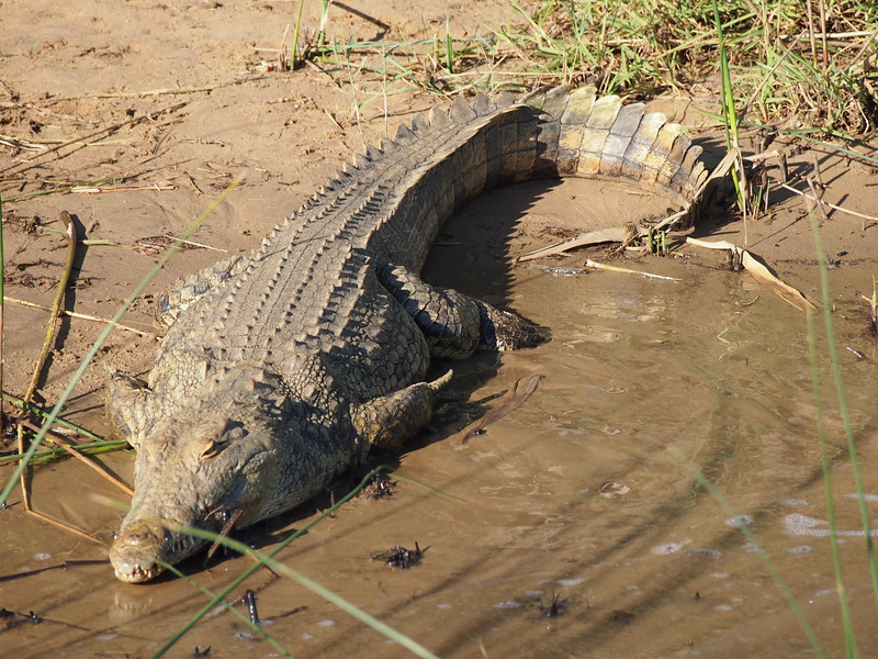 P5036018-crocodile.JPG
