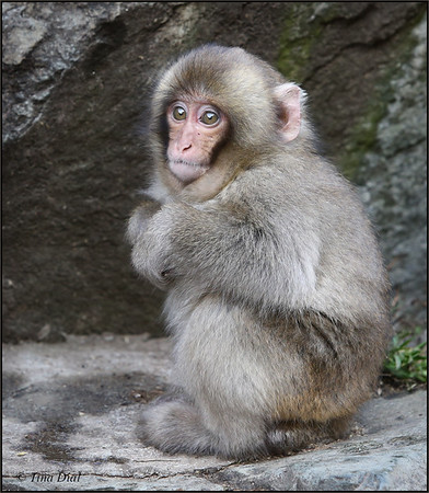 Japan Snow Monkeys 2014