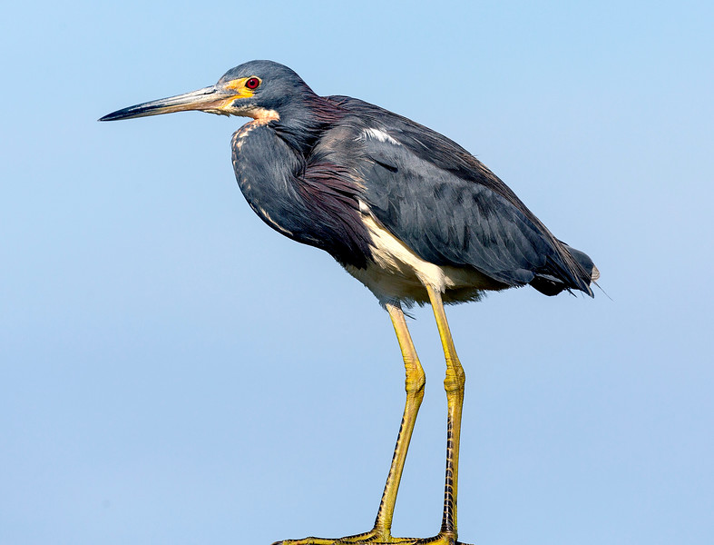 A third look at our Tricolor Heron on its post