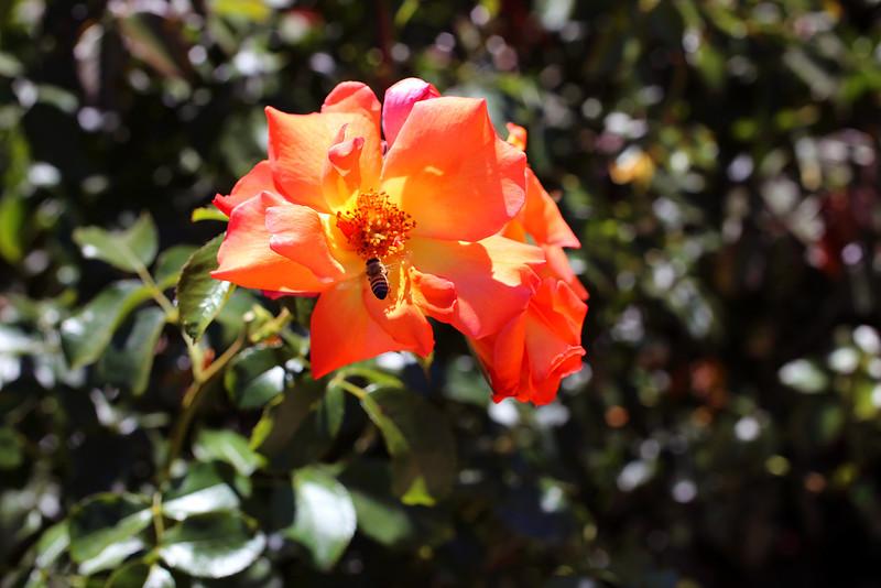Orange Bee.jpg