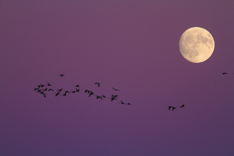 Sandhill Crane full moon fly in flight Crex Meadows Grantsburg WI IMG_2096.jpg