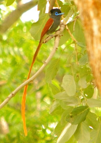 Male Zambezi National Park, Zimbabwe