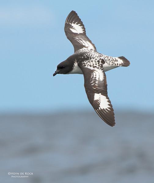 Cape Petrel, Wollongong Pelagic, NSW, Aus, Oct 2012.jpg