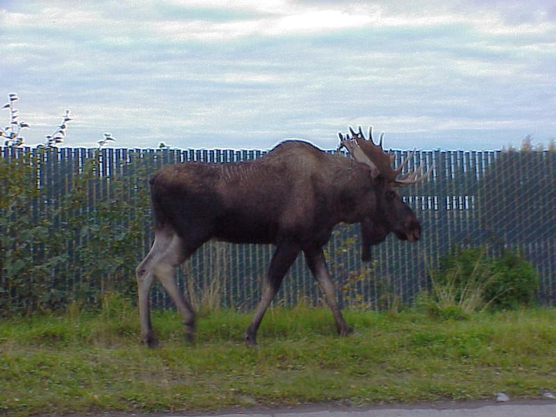 Sharon's Moose-9-26-03-11a.jpg