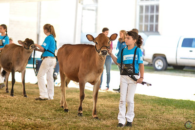 Western Fall National Jersey Heifers