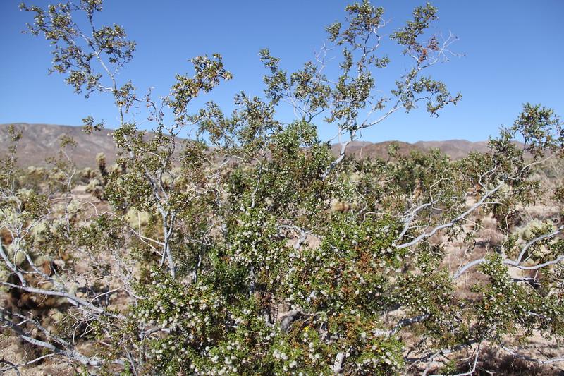 20190524-09-SoCalRCTour-Cholla Cactus Garden Trail-Joshua Tree NP.JPG