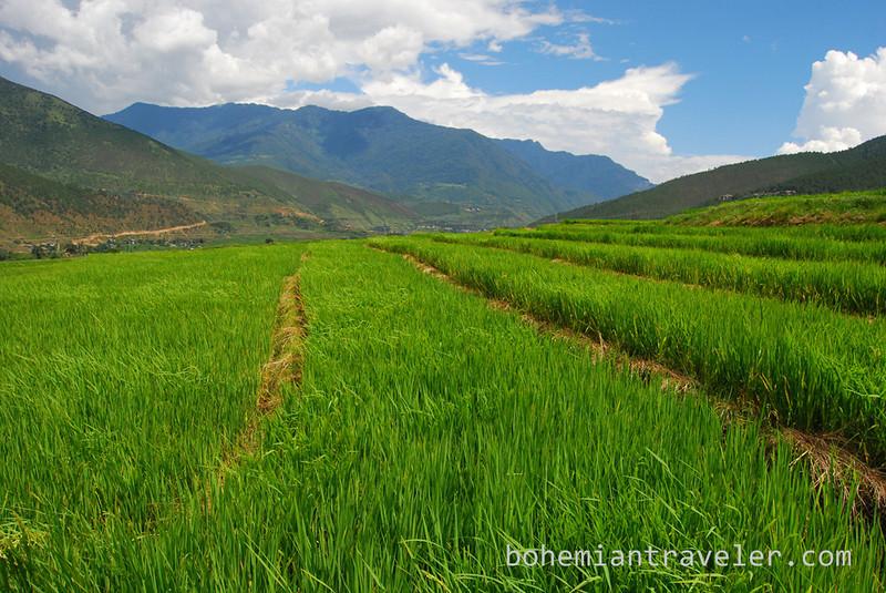 rice paddies around Divine Madman temple Bhutan (5).jpg