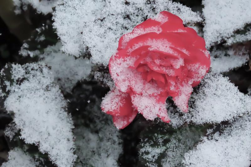begonia one.jpg