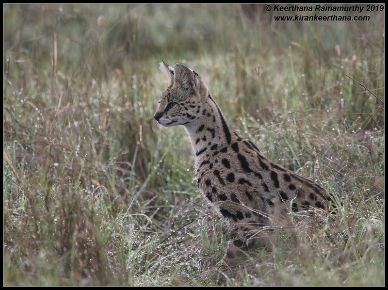 Serval cat, Ngorongoro Crater, Ngorongoro Conservation Area, Tanzania, November 2019