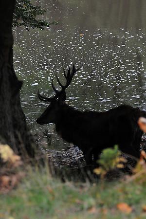 Deer of Calke Abbey