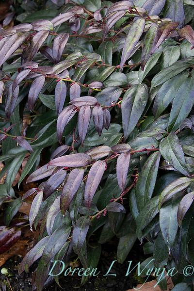 Leucothoe fontanesiana 'Zeblid' Scarletta winter color_0609.jpg