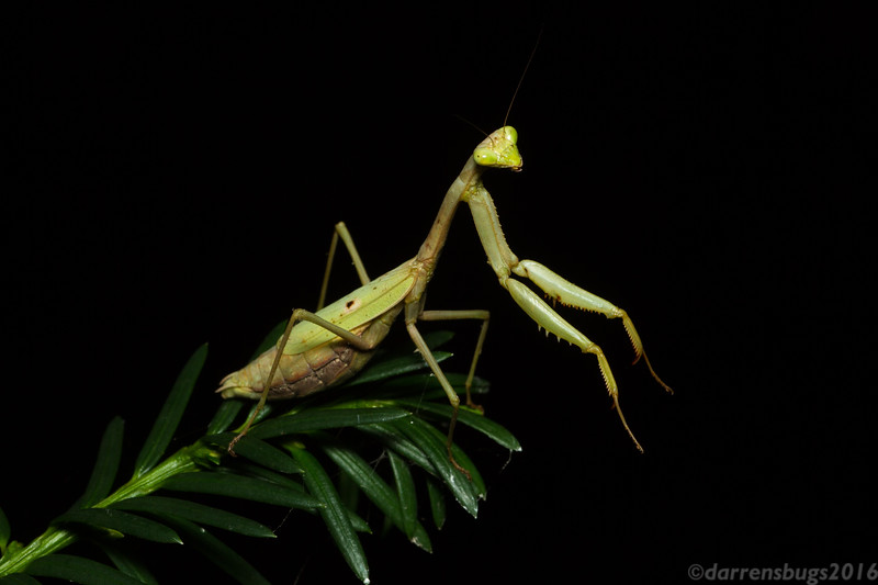 Female Carolina mantis, Stagmomantis carolina, from Iowa (10/28/16). This was the first time I'd ever seen this native species here in my home state after many years of looking.