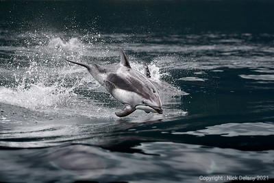 Pacific White Side Dolphin in flight