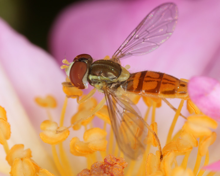 Hoverflies on a rose.