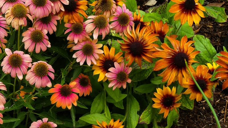 delight of coneflower and rudbeckia