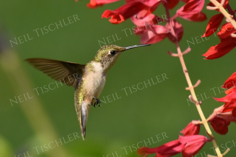 #1605  Ruby throated hummingbird,  juvenile male feeding on a Brazilian Salvia (that I planted as an annual )