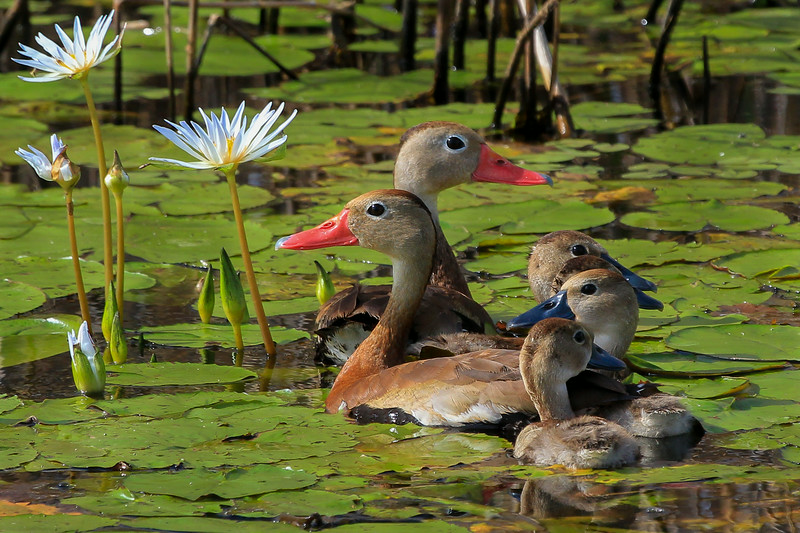 zAnahuac 8-21-14, Old T3i, 035A, Black-bellied Whistling Ducks in flowers (1 of 1).jpg