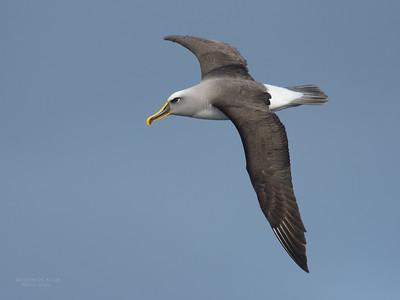 Buller's Albatross (Thalassarche bulleri) NT