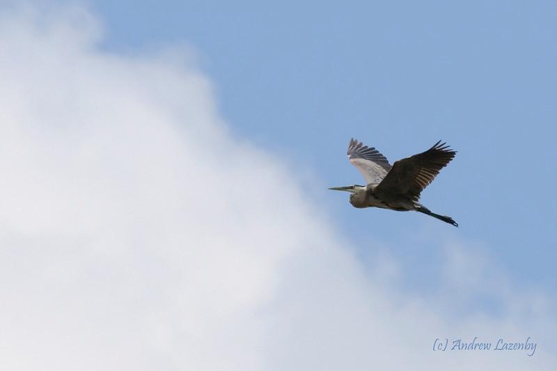 Heron flight 2.jpg