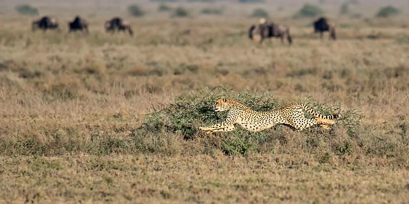 When Cheetahs Fly