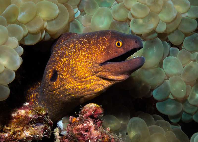Yellow Edged Moray Eel
