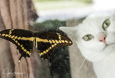 Cat and Butterfly 05-17-2015