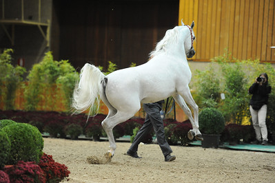 Stallions 6-7 years