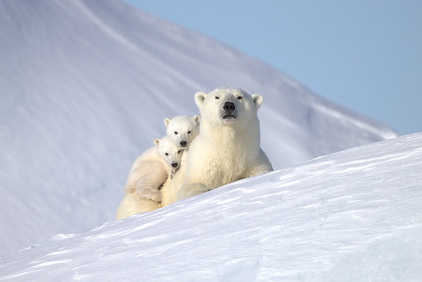 Polar Bears of Baffin Island