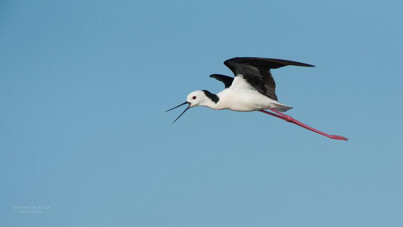 Black-winged Stilt, Lake Wollumboola, NSW, Nov 2014-1.jpg