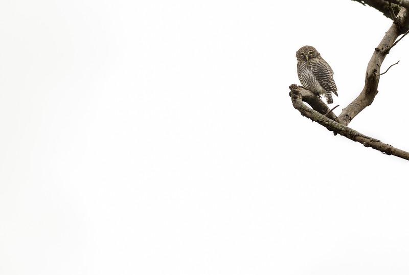 Jungle-Owlet-minimalistic-highkey-brhills.jpg