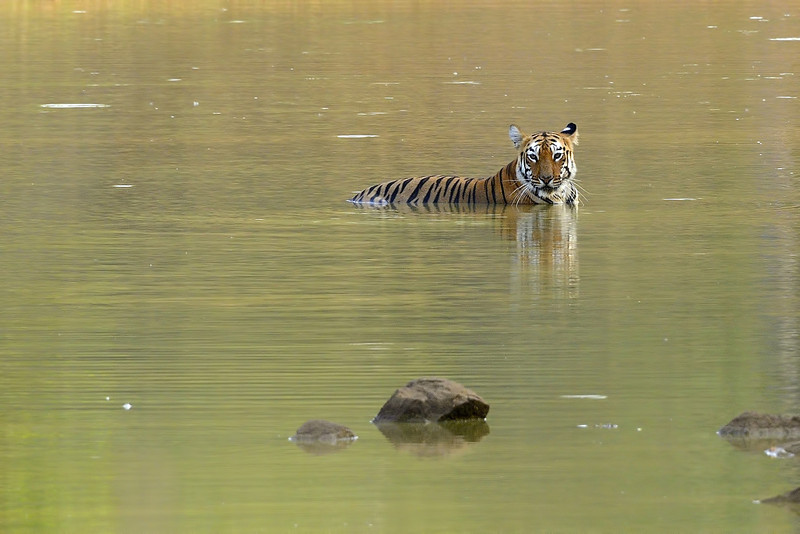 Tigress-Maya-having-a-cool-dip.jpg