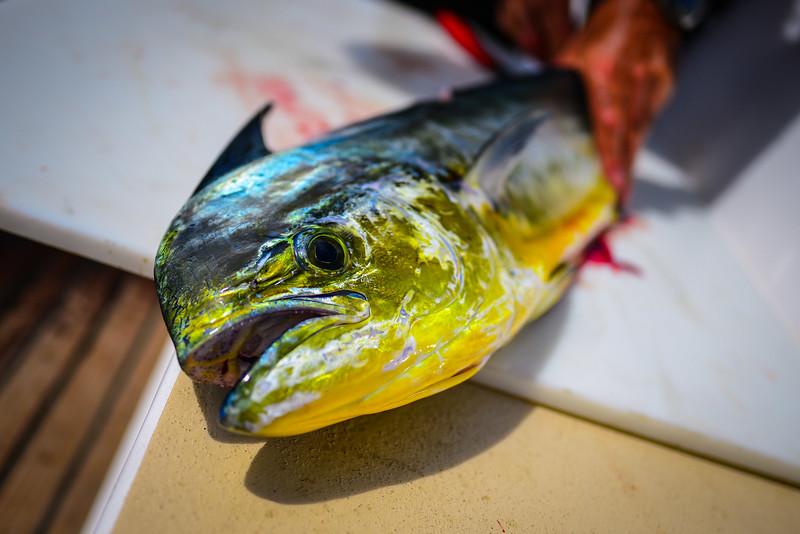 Mahi Mahi sailboat fish tacos Pacific Ocean-6.jpg